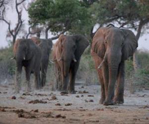 Puzzle Éléphants d'Afrique