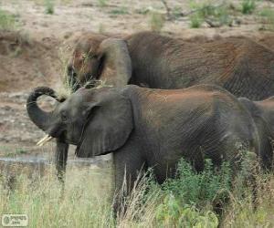 Puzzle Éléphants manger les herbes