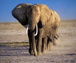 Puzzle Éléphants marchant en ligne