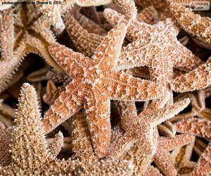 Puzzle Étoiles de mer