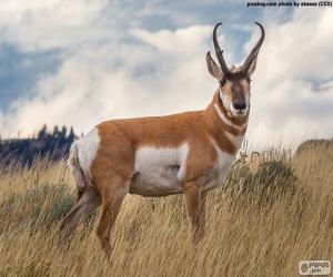 Puzzle Antilope d'Amérique