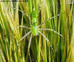 Puzzle Araignée Lynx vert
