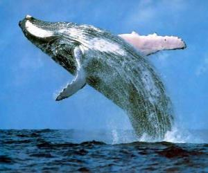 Puzzle Baleine a sauté