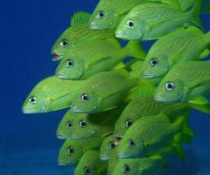 Puzzle Banc de poissons vert