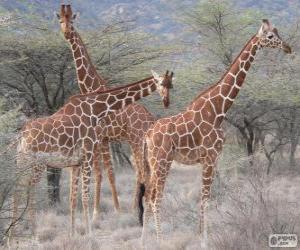 Puzzle Belles girafes