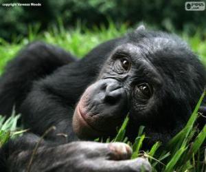 Puzzle Bonobo ou chimpanzé pygmée