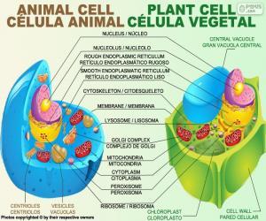 Puzzle Cellule animale et végétale