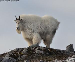 Puzzle Chèvre des montagnes Rocheuses