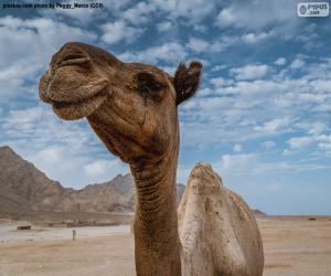Puzzle Chameau dans le désert