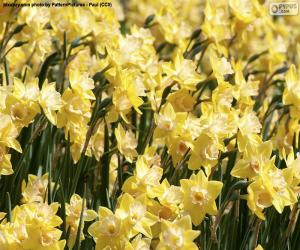 Puzzle Champ de Narcisses