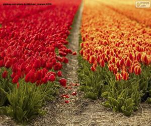 Puzzle Champ de tulipes