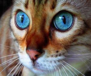 Puzzle chat aux yeux bleus