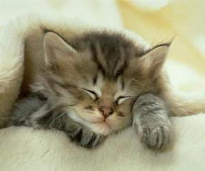 Puzzle Chat d'élevage, chaton dort