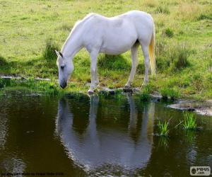 Puzzle Cheval blanc boit