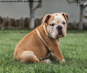 Puzzle Chiot bulldog anglais