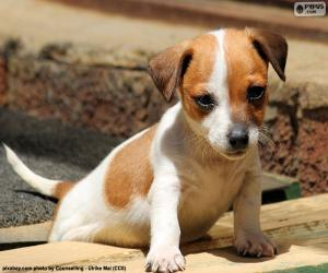 Puzzle Chiot Jack Russell Terrier