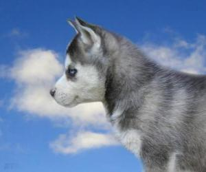Puzzle Chiot, le husky sibérien