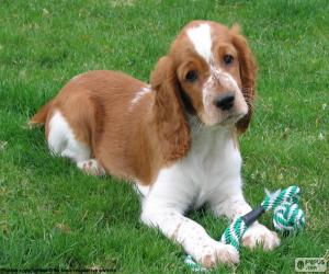 Puzzle Chiot Welsh Springer Spaniel