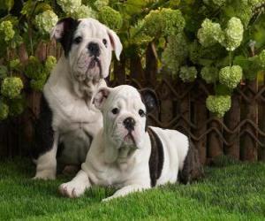 Puzzle Chiots Bulldog