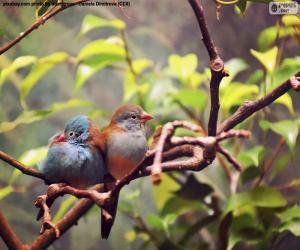 Puzzle Couple d'oiseaux
