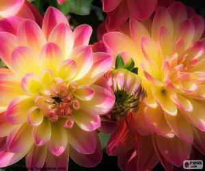 Puzzle Dahlia rose et jaune