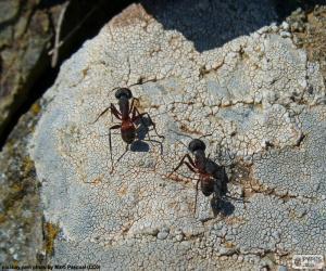 Puzzle Deux fourmis