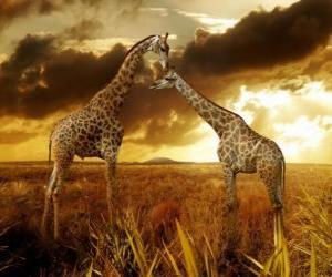 Puzzle Deux girafes au crépuscule