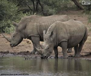 Puzzle Deux grands rhinocéros blancs