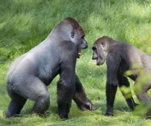 Puzzle Deux jeunes gorilles marcher à quatre pattes