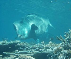 Puzzle Dugong