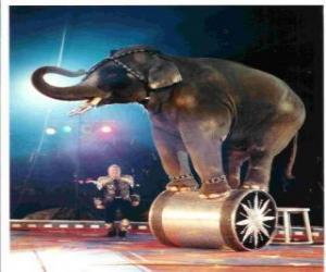 Puzzle Éléphant formé agissant dans un cirque en marchant sur un cylindre