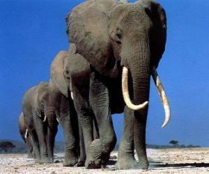Puzzle Éléphants marchant