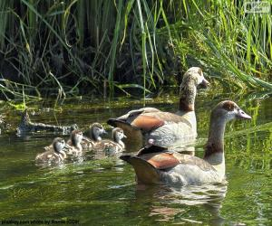 Puzzle Famille d'oies du Nil