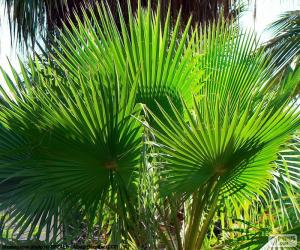 Puzzle Feuilles de Washingtonia