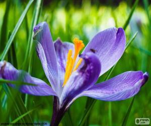 Puzzle Fleur de safran