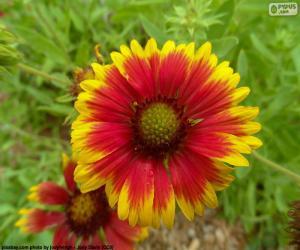 Puzzle Fleur Gaillardia pulchella