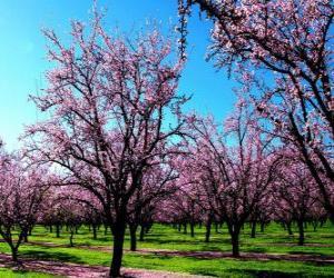 Puzzle Fleurs aux amandes arbres au printemps