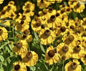 Puzzle Fleurs d'échinacée