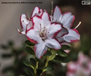 Puzzle Fleurs d'azalée blanches et rouges