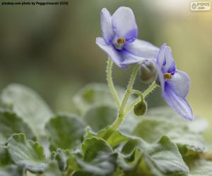 Puzzle Fleurs violettes africaines
