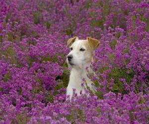 Puzzle Fox Terrier dans le domaine