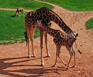Puzzle Girafe adulte et Girafe bébé