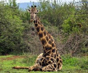 Puzzle Girafe au repos