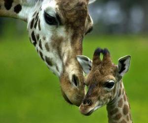 Puzzle girafe avec son bébé