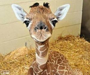 Puzzle Girafe bébé