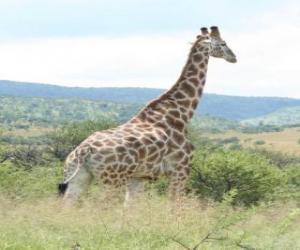 Puzzle Girafe regardant le paysage