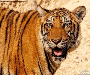 Puzzle Grand tigre