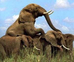 Puzzle Groupe d'éléphants, de grandes dents