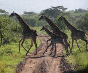 Puzzle groupe de girafes traversée d'une route