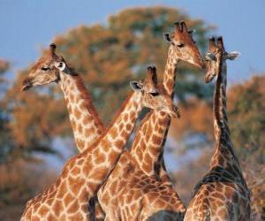 Puzzle Groupe de quatre girafes